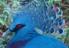 Голуби бывают разные. Есть и такие, что посоревнуются в красоте с павлинами!