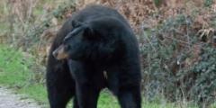 (Видео) Девушка замерла, когда к ней вплотную подошёл дикий медведь. А потом ей пришла мысль сделать селфи!