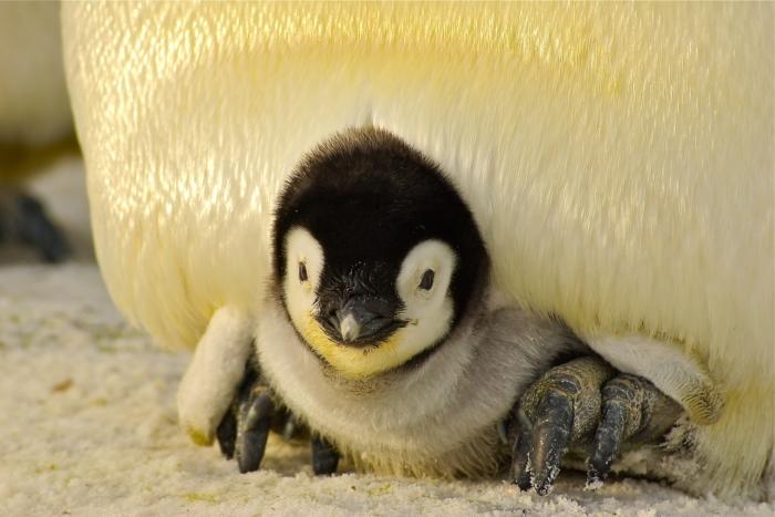 Лысый пингвинёнок стал изгоем в своей семье. Вернуть расположение ему помогли люди!