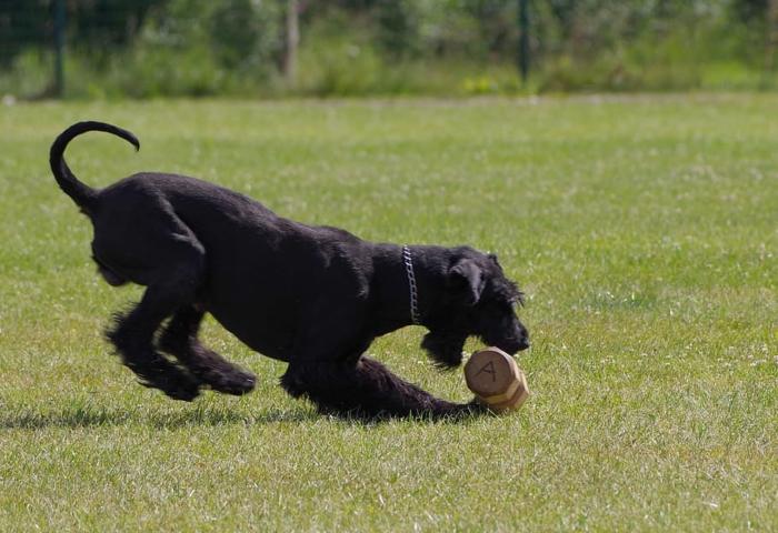 Хозяин собаки не поверил своим глазам, когда увидел рентгеновский снимок её желудка. Пёс втихую коллекционировал мячи для гольфа