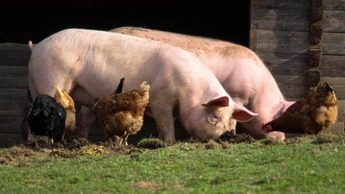 свиньи и куры