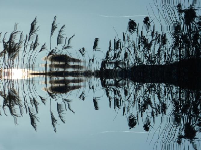 Тростник на воде.