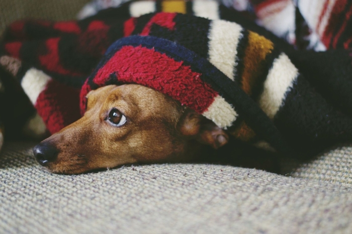 (Видео) Хозяева так любили свою таксу, что никогда не отказывали в еде. От такой заботы собаку пришлось спасать!