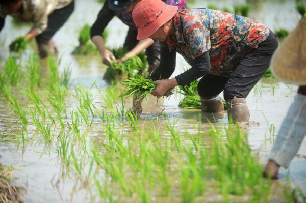 Посадка риса на полях в Китае