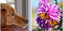 Пёс фотографируется с бабочками. И это прекрасная комбинация!