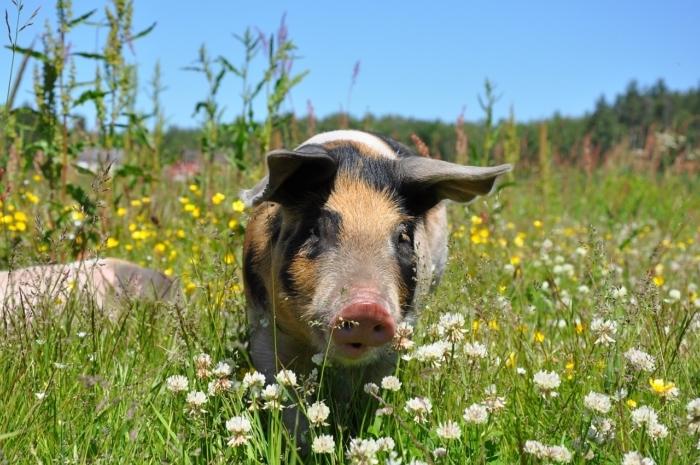 Свинья в поле