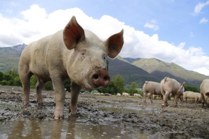 Свинья стоит в луже