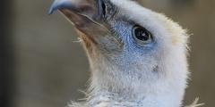 (Видео) Секретная разработка военных заменила птенцу вымирающего вида погибшую маму
