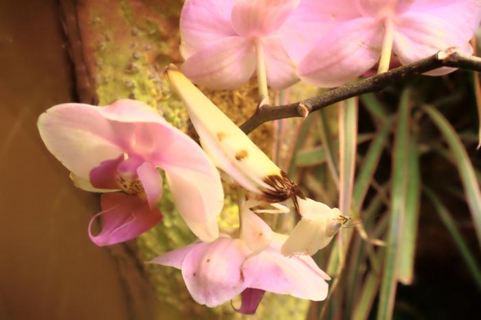 (Видео) Может ли орхидея съесть жука? Да, если эта орхидея — самый настоящий богомол!