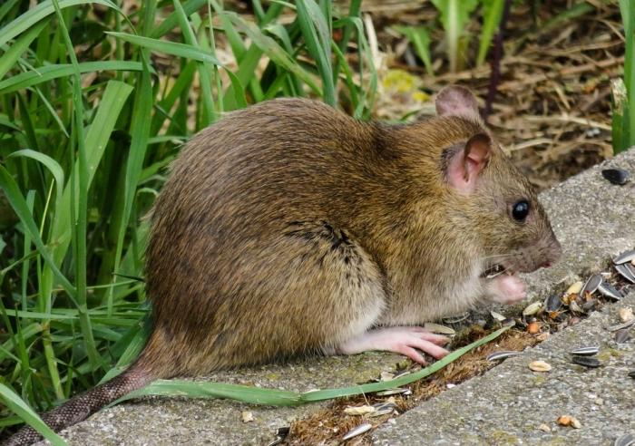 Впервые золотой медалью за исключительную храбрость наградили… крысу!