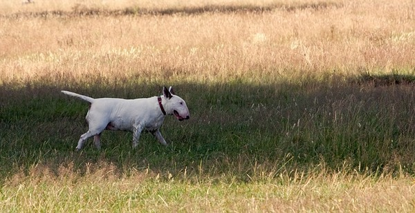 Белый бультерьер в поле