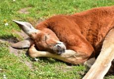 (Фото) Скорбь кенгуру по убитой подруге трогает до слёз. Этот взгляд невозможно забыть