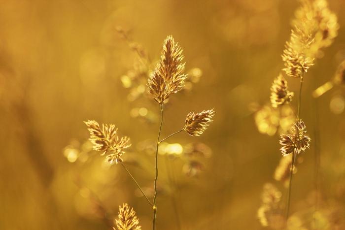 полевое растение