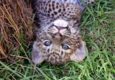 Видео: как спасали детёныша леопарда из 9-метрового колодца. И о воссоединении малыша с мамой