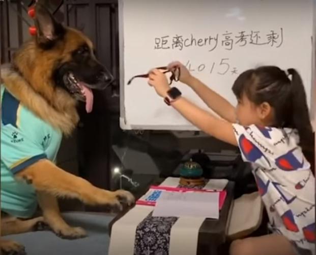 (Видео) Собака помогает маленькой хозяйке хитрить с уроками, да и вообще, ведёт себя как человек. Невероятная сообразительность!