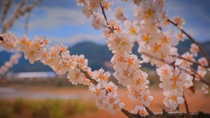 Цветение абрикосового дерева