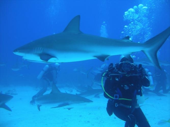 (Видео) Дайвер кормит с рук самых агрессивных тигровых акул. Это круто, но не повторяйте!