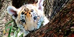 Контрабандисты перепутали и отправили покупателю вместо кошки тигрёнка. Поиски преступников продолжались 2 года