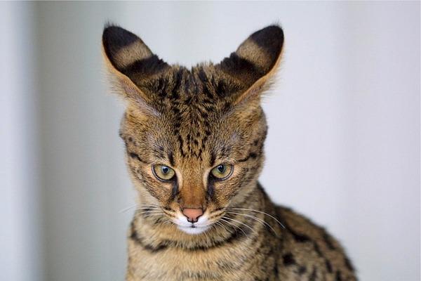 Для лечения рака учёные используют кошачьих паразитов