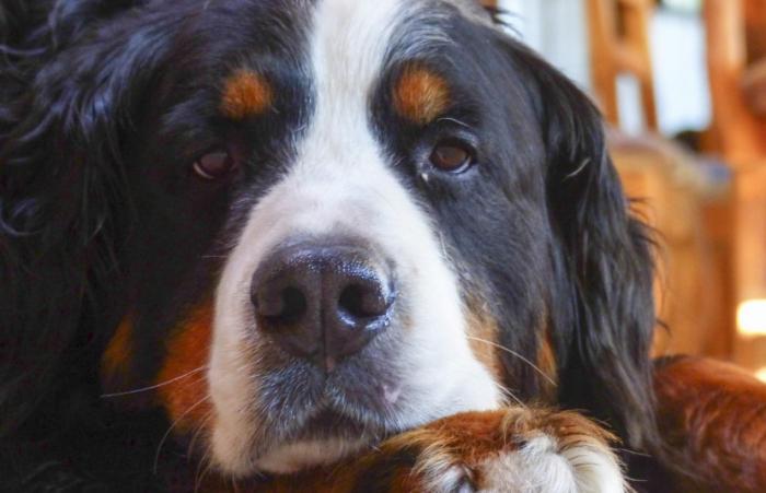 (Видео) Родители опасались подпускать огромного пса к ребёнку, но заботливый питомец поразил их