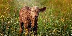 Убийцы и клеветники после смерти перерождаются в скот. Два задокументированных случая