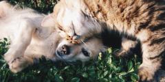 (Видео) Кошка каждый вечер заботливо вылизывает пса. Ведь когда-то она его «усыновила»