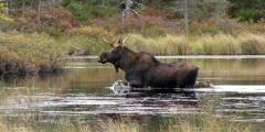 (Видео) 450-килограммовый лось бежит по воде. И это не фейк!