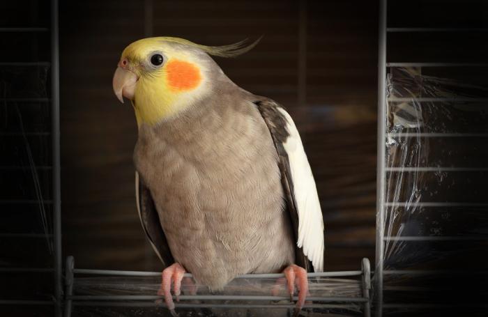 (Видео) Это не попугай, это настоящий тусовщик! Главное ― дождаться ухода хозяйки))