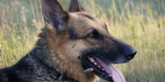 Военный пёс ушёл в отставку с медалью за мужество. Он спас солдат от боевиков «Аль-Каиды»