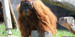 (Фото) Папа-орангутанг взялся за воспитание своего детёныша. Это величайшая редкость в природе!