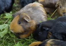 (Видео) Морские свинки Эми и Юки — неразлучные сёстры. Эми слепая, но Юки всегда рядом с ней