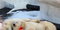 (Видео) Питомцам зоопарков установили ёлки и вручили новогодние подарки. У животных тоже праздник!
