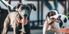 (Видео) Обученные собаки будут выявлять заражённых COViD-19 пассажиров в аэропорту Дубая