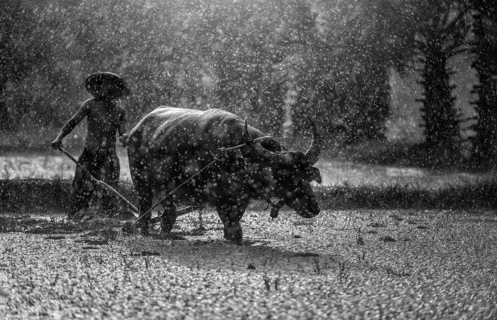 Фермер с буйволом под дождём