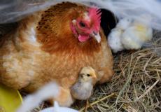 (Видео) Ястреб-истребитель [птенцов] пал от клюва разъярённой мамы-курицы