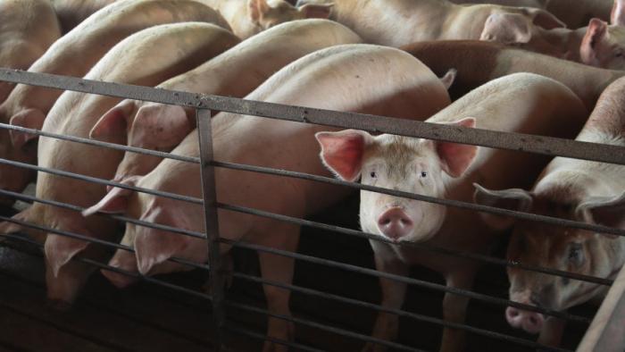 Свиньи на ферме Теда Фокса недалеко от Осейджа, штат Айова, 25 июля 2018 года