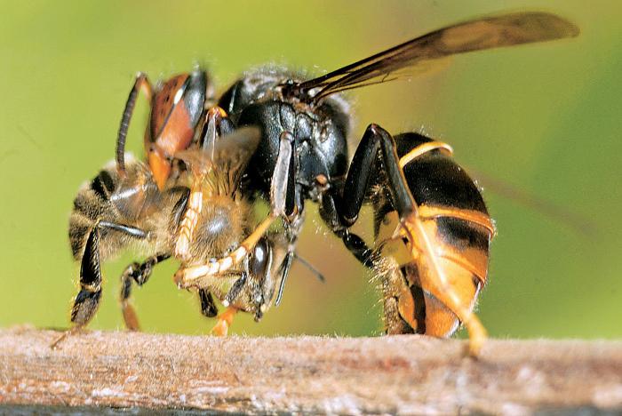 Азиатский шершень: бретонский пчеловод изобрёл хитроумную ловушку для маток шершней