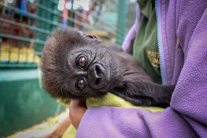 Брошенного матерью детёныша гориллы взялась опекать его прабабушка