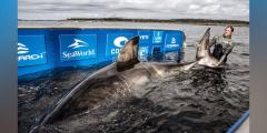 Громадная белая акула плывёт через Атлантику в сторону Европы