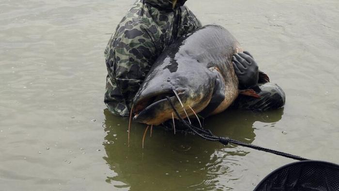 Огромного сома весом в 120 килограммов выловили в реке Мозель, Франция