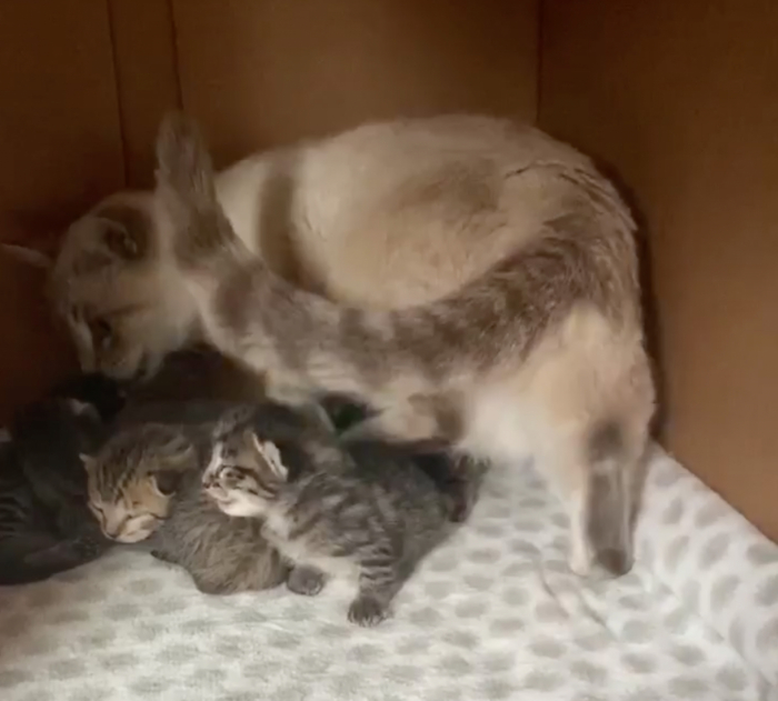котята, сиамская кошка, ласка