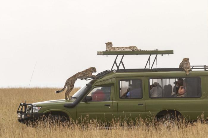 Семейство гепардов решило отдохнуть на автомобиле и заодно присмотреть добычу