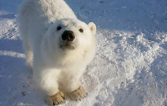 В Арктике горняки выкармливают осиротевшего белого медвежонка