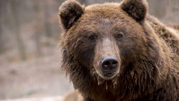 В штате Колорадо медведица загрызла женщину