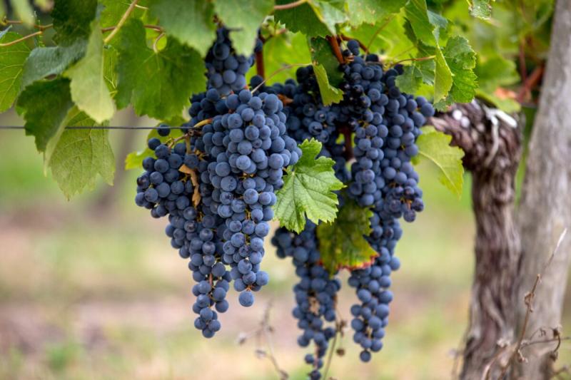 виноград, китай, экспорт