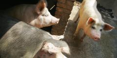 В Китае упали цены на свинину, свинофермы закрываются