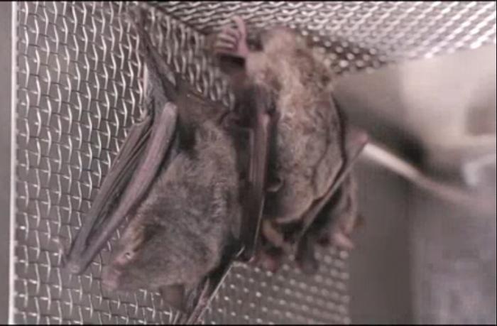 Кадры с летучими мышами в лаборатории Уханя привлекли внимание исследователей