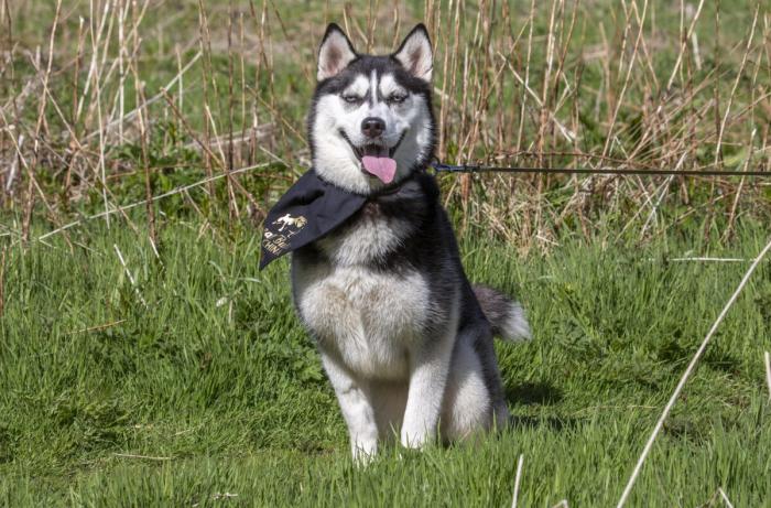 ET Siberian Husky 3 1200x791 1 e1624720128136 - Несчастная собака или новая кухня? Супруги из Шотландии долго не думали…