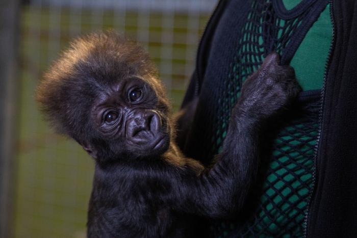 Маленького гориллу не приняла мать