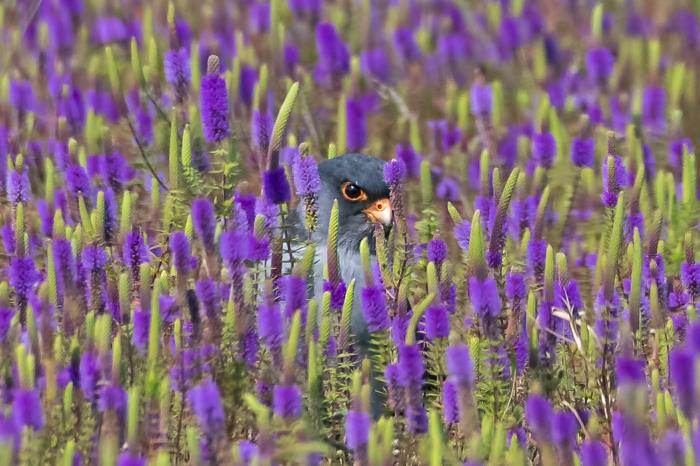 Осторожно! Среди цветов скрывается хищник!